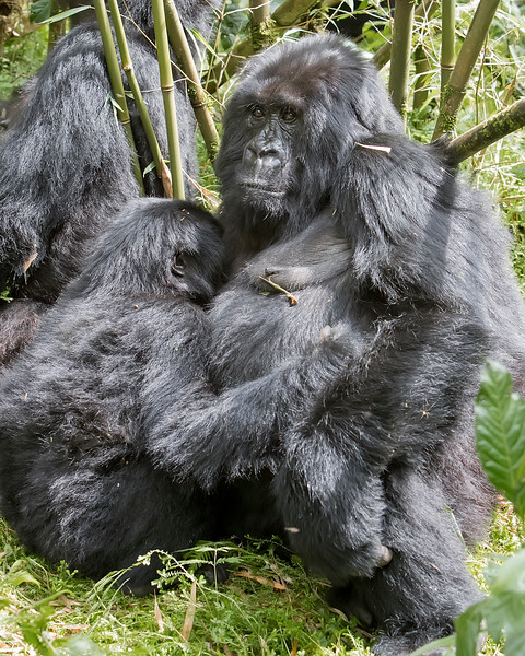 Volcanoes National Park Mother and Baby Gorilla