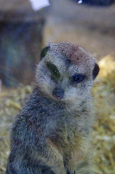 Granby Zoo<br /> Meercat<br /> (Please excuse the smudged and scratched window!)