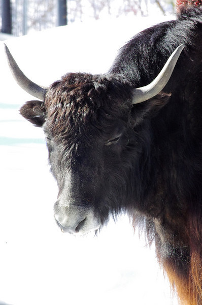 Granby Zoo<br /> Yak is not amused!