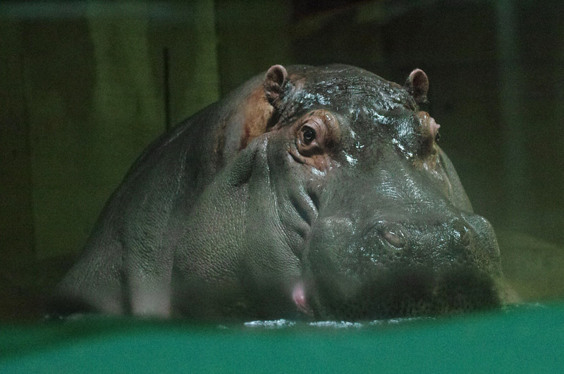 Granby Zoo<br /> Hungry hungry hippo!