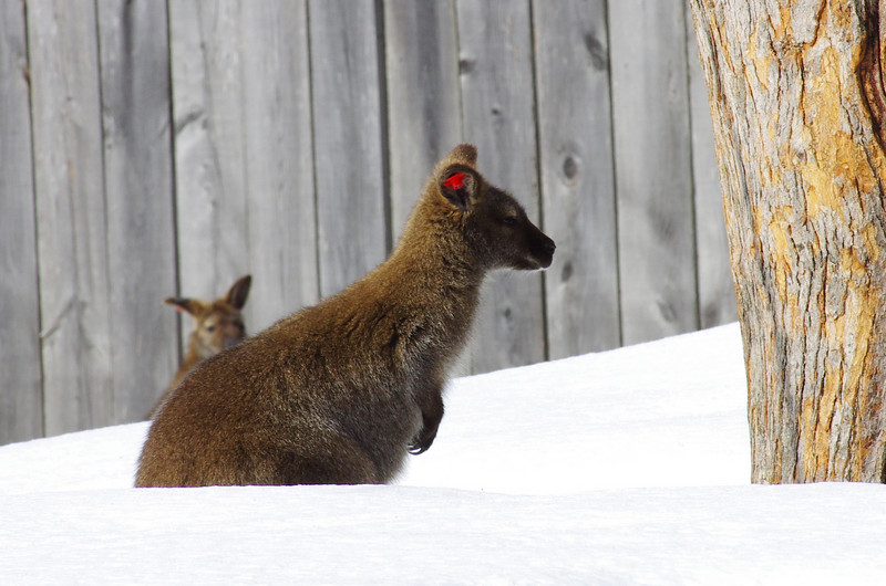 Granby Zoo<br /> Yes folks, you recognized it... the redneck wallaby!