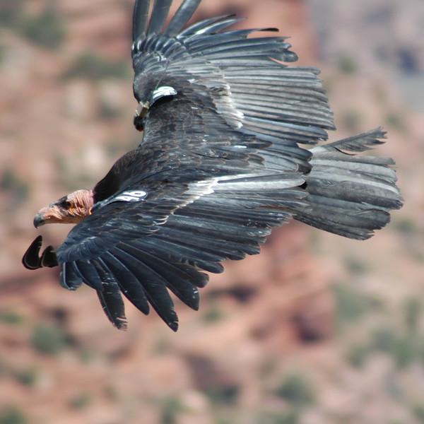 Condor, Grand Canyon