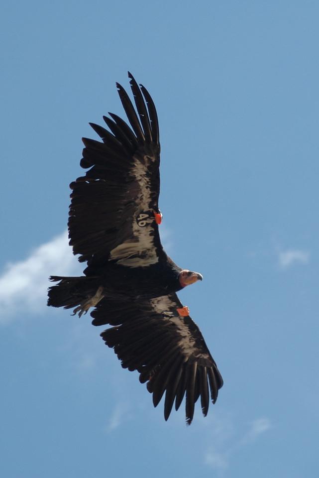 Condor # 46, Grand Canyon