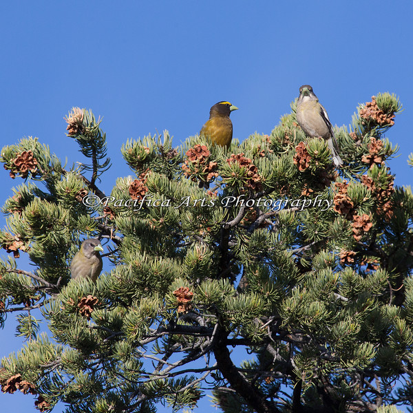 A family of Evening Grosbeaks.  Juvenile is near on left, center.  I saw these in a group of pine trees near the rim trail.