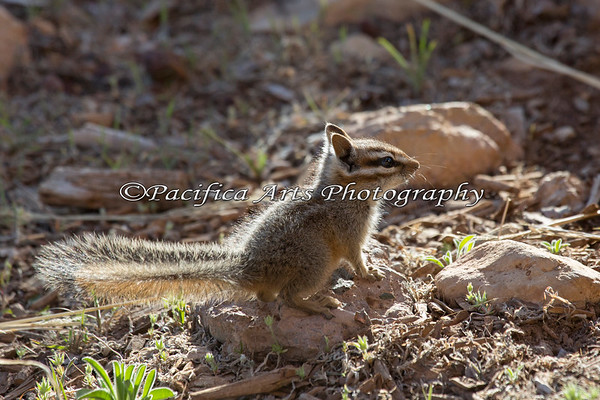 Backlit Cliff Chipmunk.  Love that tail!