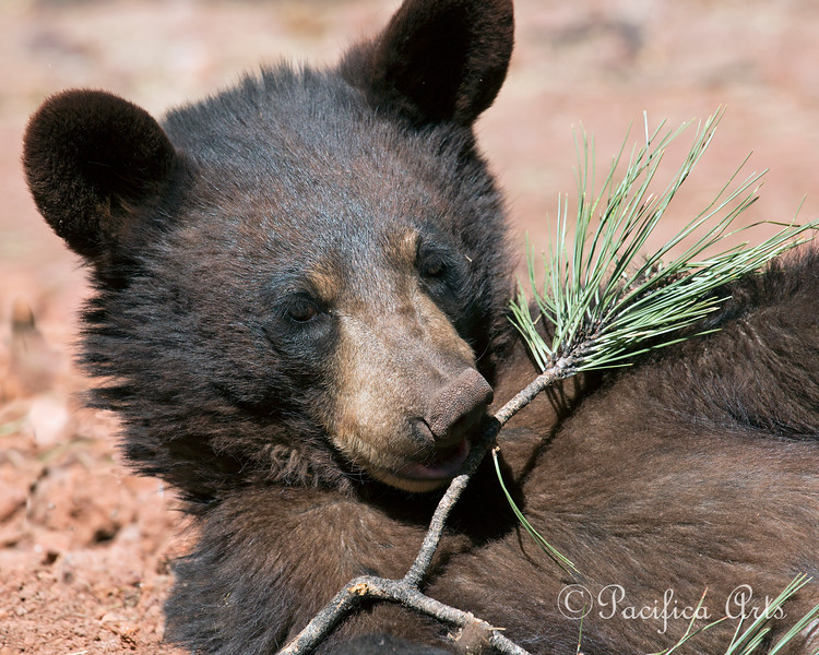 Young Black Bear (Bearizona)