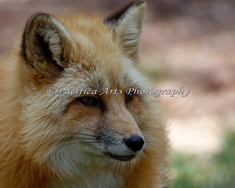 Red Fox at Bearizona