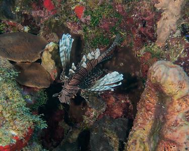 Common Lionfish