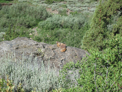Same marmot. This one was quite golden in color; they're oftentimes more tan in color and less showy.