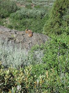 Marmot sunning on rock.