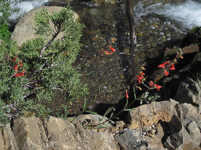 Flowers and juniper above Franklin creek, after crossing.