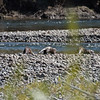 Three river otters along the bank of the Buffalo Fork of the Snake River in Grand Teton National Park, Wyoming, USA