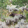 Grizzly Bear 399 in Grand Teton National Park, Wyoming