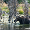 A cow moose eating in a beaver pond in Grand Teton National Park, Wyoming