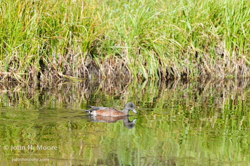 A duck swims in a beaver pond in Grand Teton National Park, Wyoming.