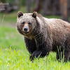 A grizzly bear watches the photographer while crossing a grassy field in Grand Teton National Park