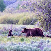 Bear 399 and two of her four cubs crossing a field in Grand Teton National Park
