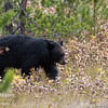 A black bear sow.  Grand Teton National Park, Wyoming, USA