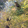 Two black bear cubs up in a tree, feeding.  Grand Teton National Park, Wyoming, USA