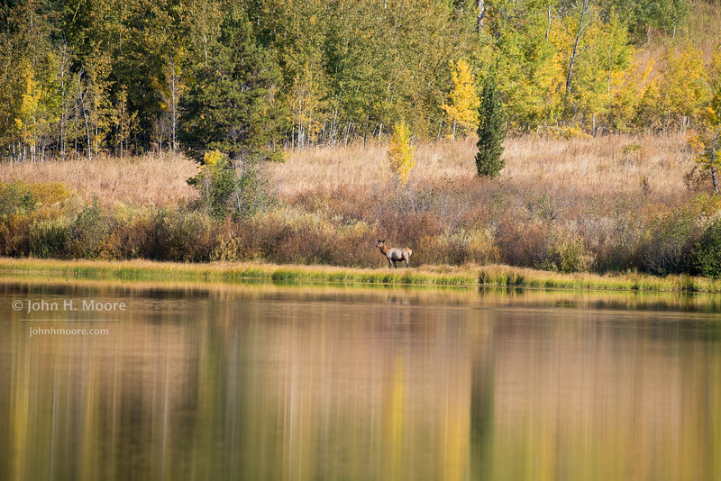 Young male elk at Two Oceans Lake in Grand Teton National Park.  Wyoming, USA