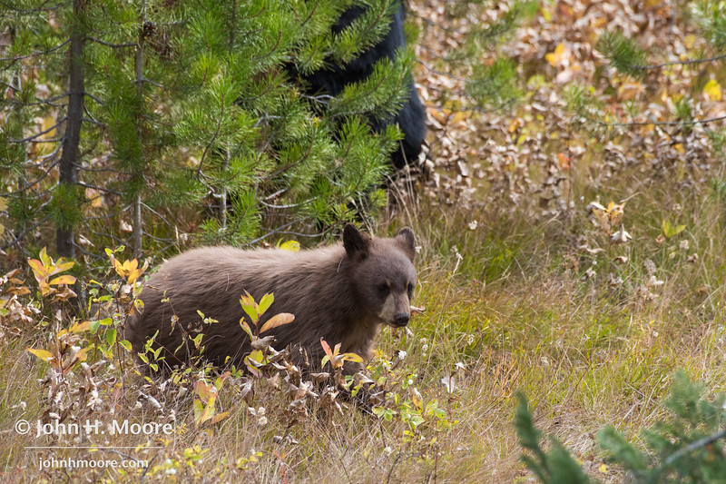 A cinnamon black bear cub (with mom partially in view behind).  Grand Teton National Park, Wyoming, USA