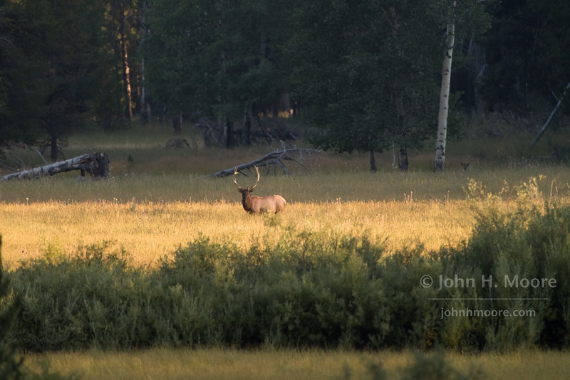 A bull elk at in a sunset-lit opening in the woods, at some distance.  Grand Tetons National Park, Wyoming