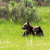 Two of Bear 399's four cubs of the year in June 2020.  Grand Teton National Park