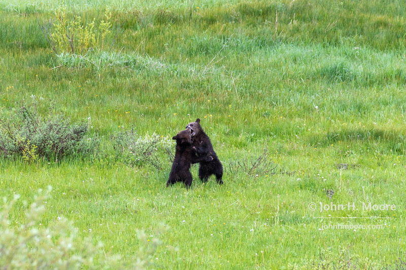 Two of Bear 399's four cubs wrestle in a field.  Grand Teton National Park.