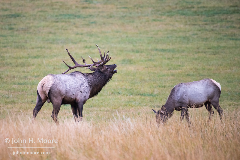 A bull elk bugles during fall rut in southern Montana.