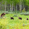 Bear 399 and her four cubs look out from a clearing in the woods, Grand Teton National Park