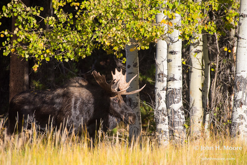 Bull moose emerging from the woods.  Grand Teton National Park, Wyoming, USA