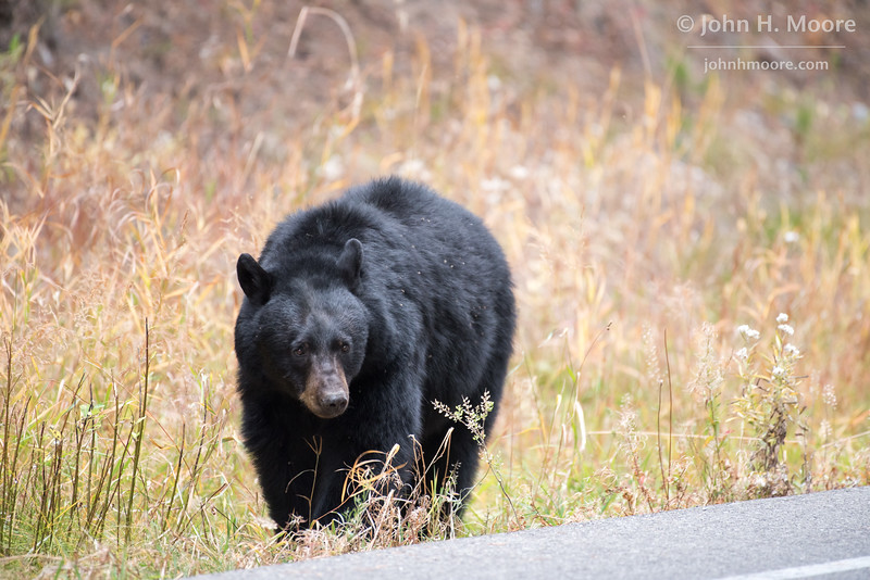 A black bear about to cross the road.  Grand Teton National Park, Wyoming, USA