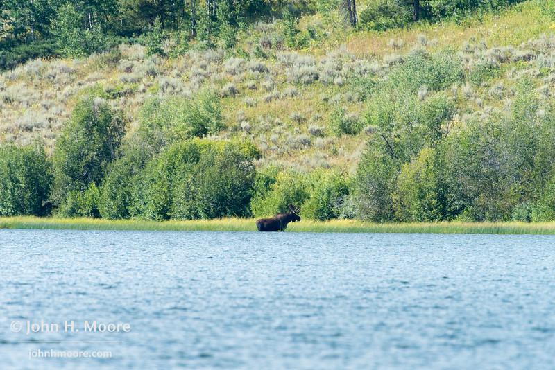 A bull moose at Two Ocean Lake in Grand Teton National Park, Wyoming