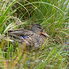 A female mallard sits beside a beaver pond in Grand Teton National Park, Wyoming.