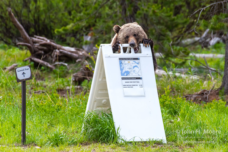 """One of """"the twins"""" (3 year old children of the bear """"Blondie,"""" which still live together) chews on a trail sign at Grand View trailhead in Grand Teton National Park"""
