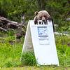 "One of ""the twins"" (3 year old children of the bear ""Blondie,"" which still live together) chews on a trail sign at Grand View trailhead in Grand Teton National Park"