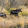 A momma moose with calf.  Grand Teton National Park, Wyoming, USA