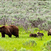 Bear 399 and her four cubs cross Willow Flats in Grand Teton National Park