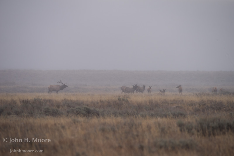 A bull elk watches over his harem during the first snowstorm of the season at Grand Teton National Park.  Wyoming, USA