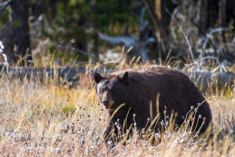 Male grizzly bear crosses a field near Pilgrim Creek.  Grand Teton National Park, Wyoming, USA