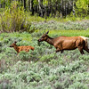 A momma elk and calf cross Willow Flats in Grand Teton National Park