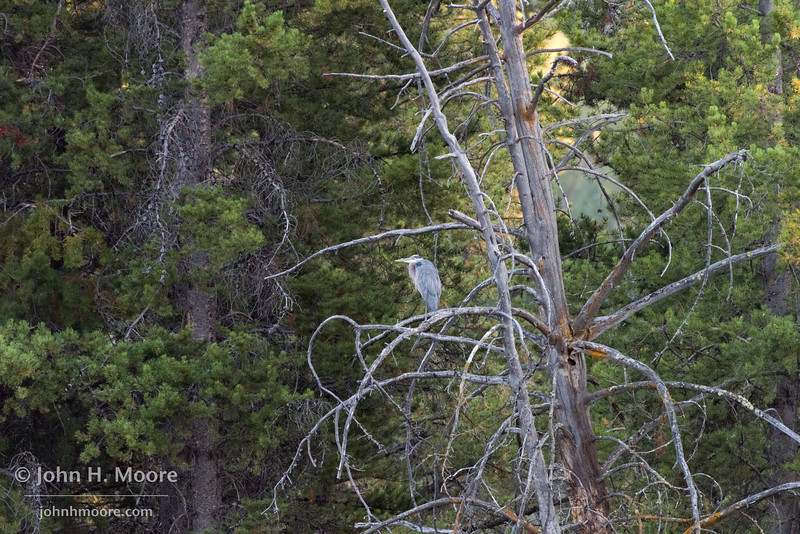 A great blue heron rests in a dead tree overlooking the Snake River in Grand Teton National Park, Wyoming.