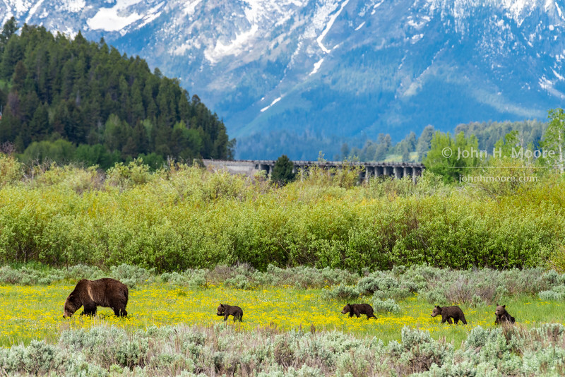 Bear 399 and her four cubs cross a field of biscuitroot in Willow Flats below the Jackson Lake Dam in Grand Teton National Park