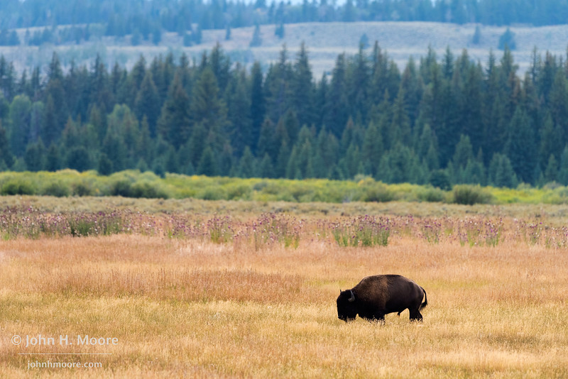 A lone male bison in a field at Grand Teton National Park, Wyoming