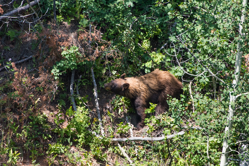 A black bear momma forages for berries in Grand Teton National Park, Wyoming.