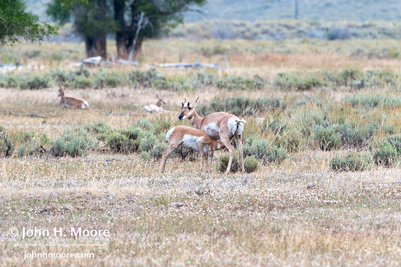 A young pronghorn nurses in the morning.  Grand Teton National Park, Wyoming