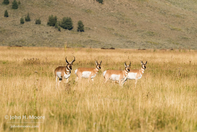 Pronghorn alerted to something in the distance.  Grand Teton National Park, Wyoming.