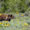 "One of ""the twins"" (3 year old children of the bear ""Blondie,"" which still live together) crossing a field in Grand Teton National Park"