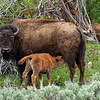A bison calf feeds from its mother.  Grand Teton National Park
