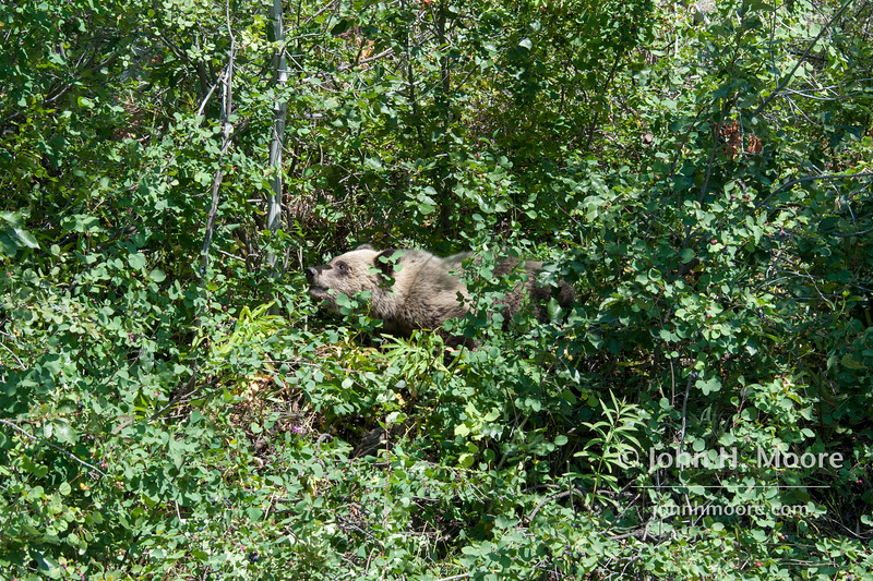 A grizzly bear cub foraging for berries in Grand Teton National Park, Wyoming.